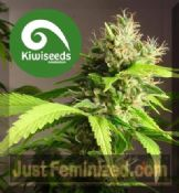Kiwi Mako Haze regular cannabis seeds for sale online
